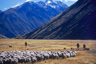 Walking a flock of Merino sheep out of the Cass Valley